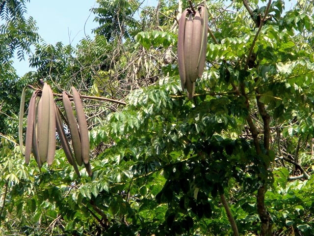 Seed-pods-of-Sonapatha