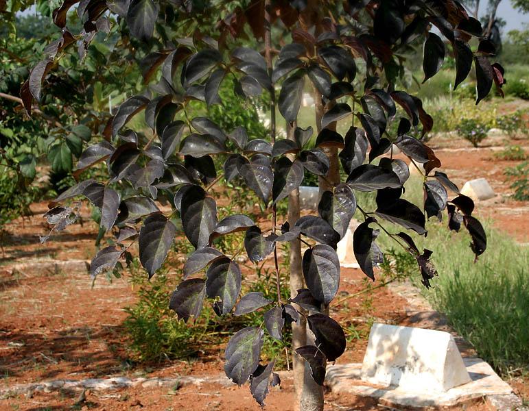 Sonapatha-leaves