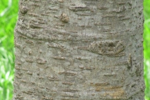 Bark-of-Sonapatha