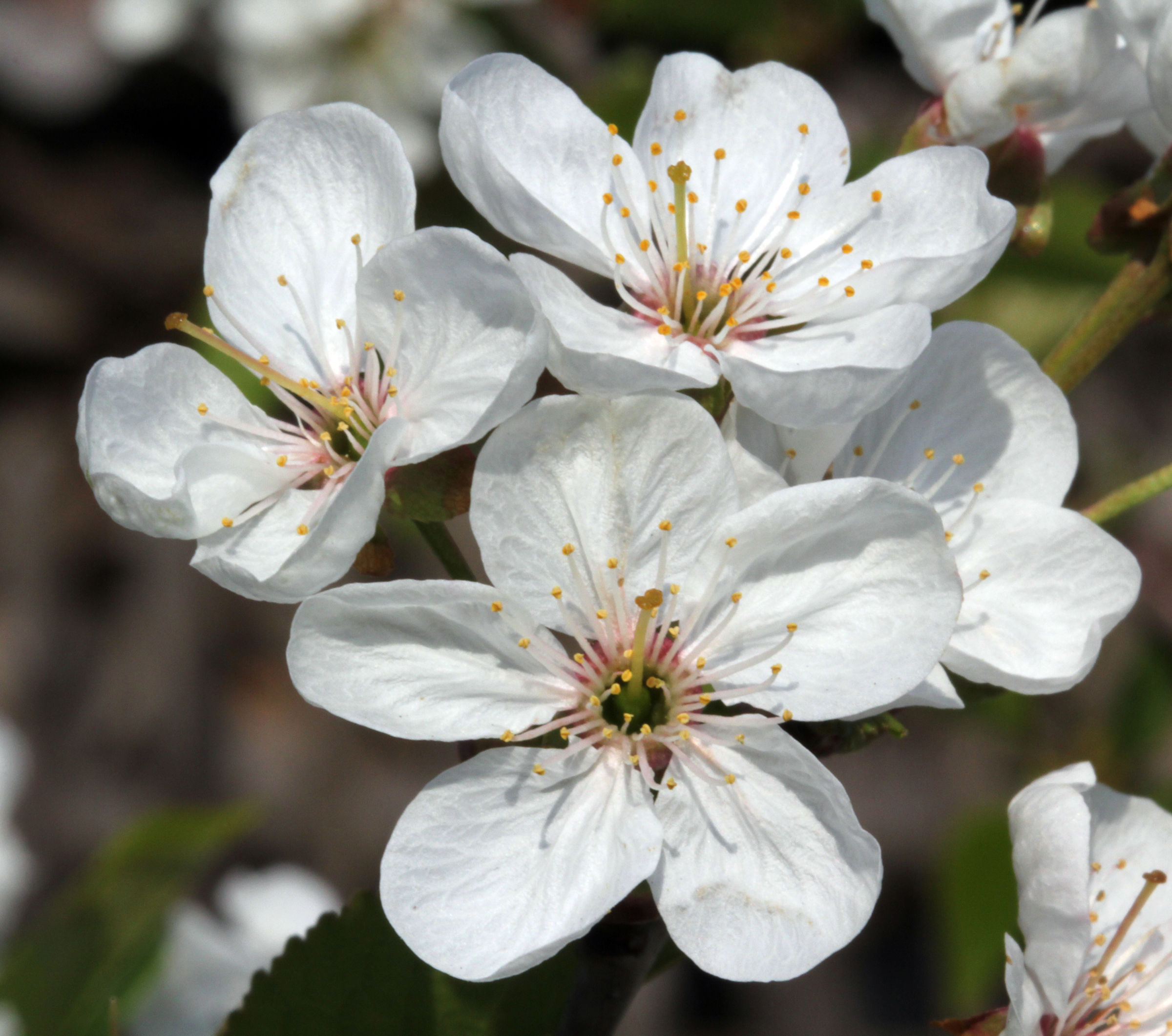 Close-up-flower-of-Sour-cherry