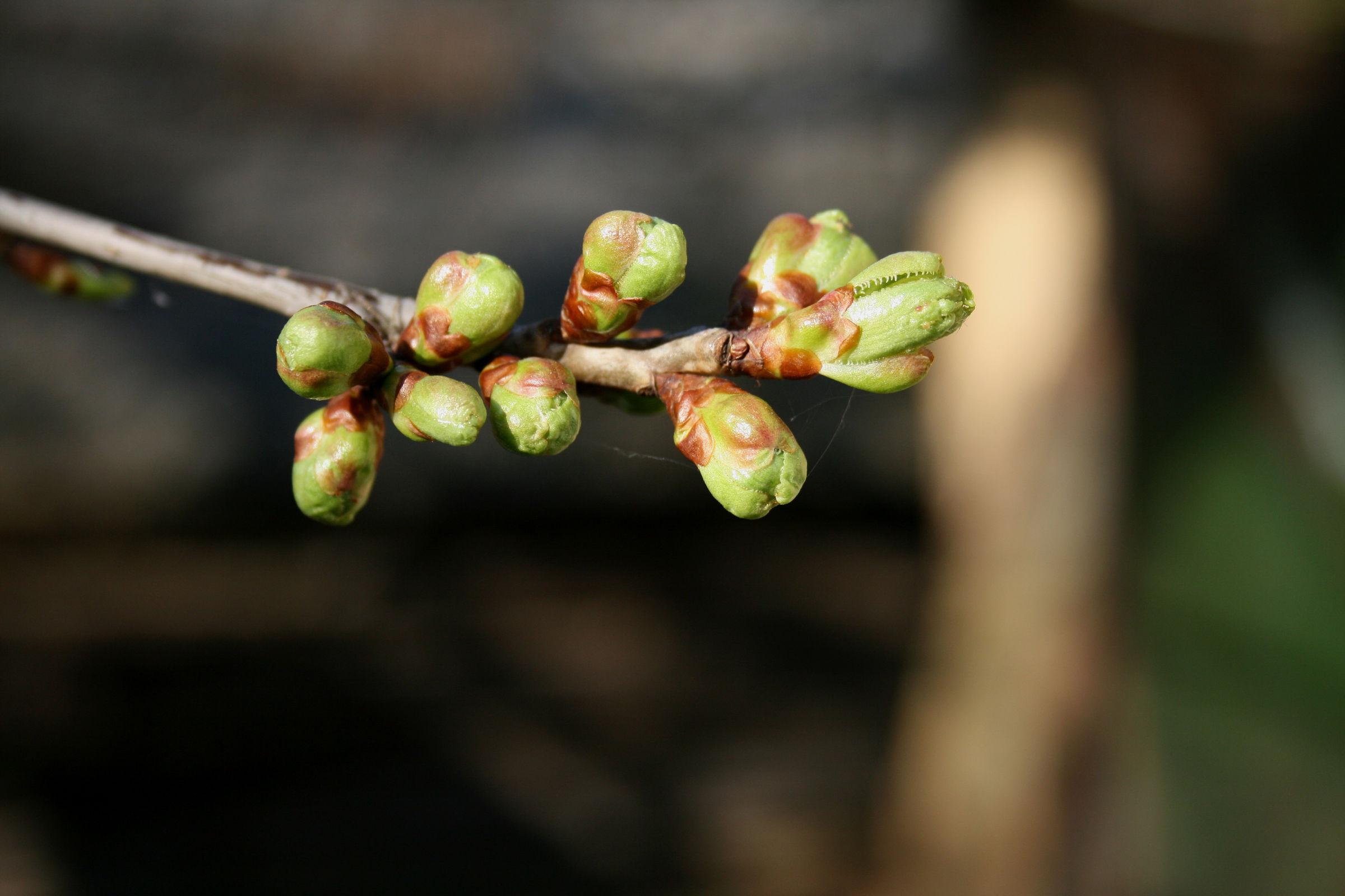 Flower-bud-of-Sour-cherry