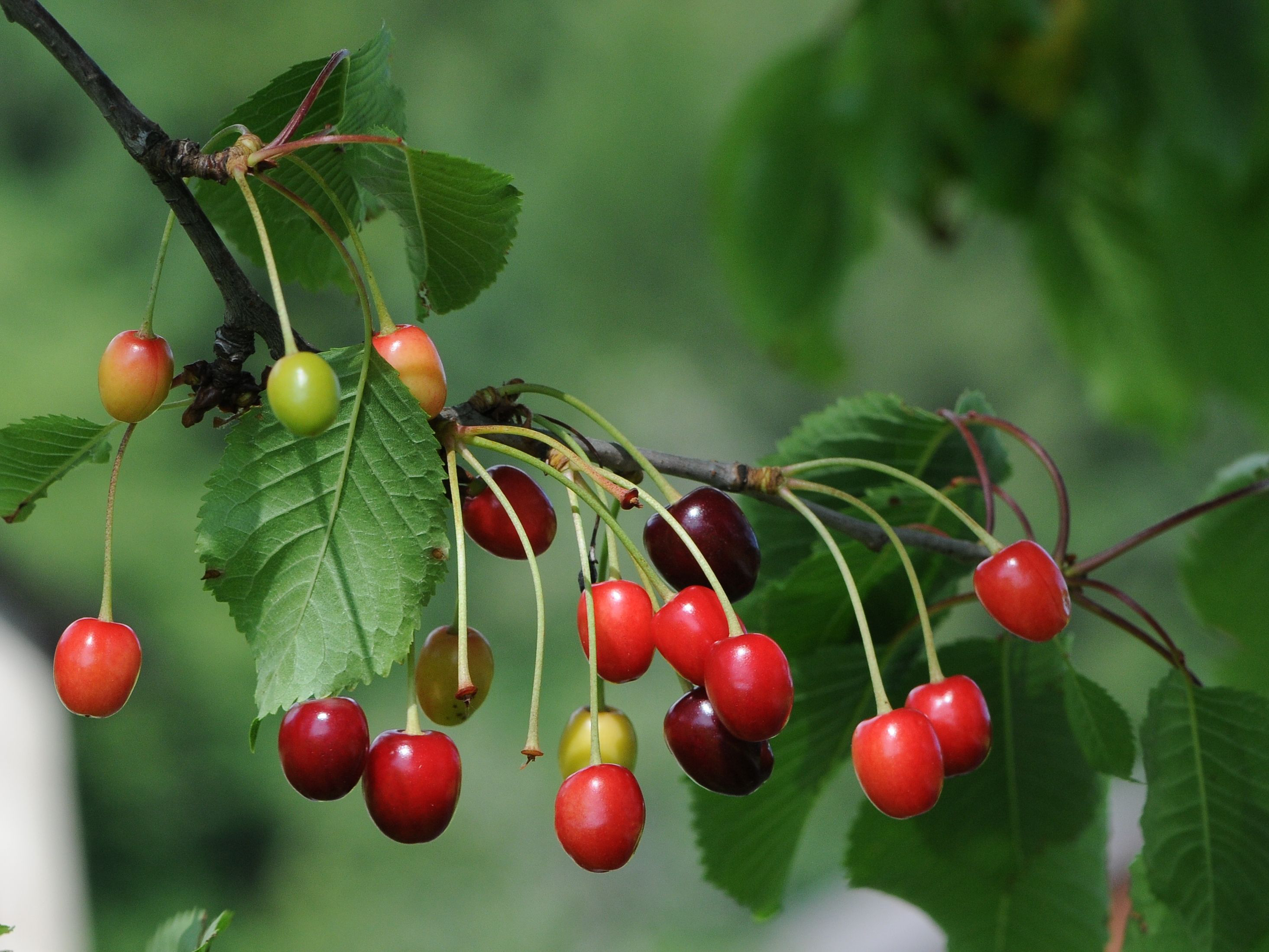 Sour cherry Facts, Health Benefits and Nutritional Value