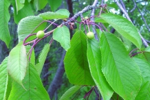 Leaves-of-Sour-cherry