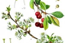 Plant-illustration-of-Sour-cherry