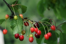Sour-cherry-fruit