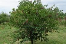 Sour-cherry-tree