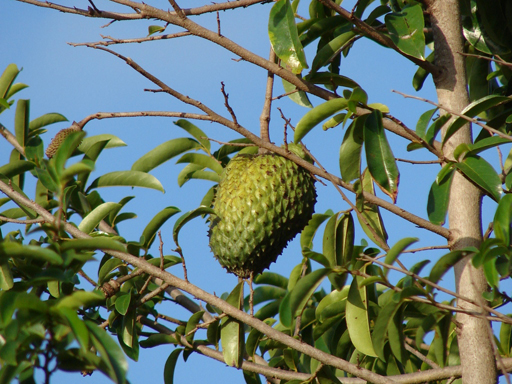 Soursop-fruit-on-the-tree