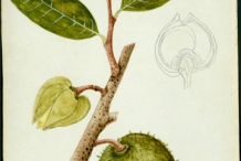Illustration-of-Soursop-plant
