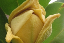 Soursop-close-up-flower