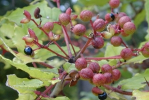 Southern-Prickly-Ash-berries