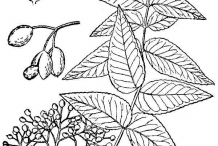 Southern-Prickly-Ash-drawing