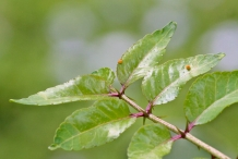 Southern-Prickly-Ash-leaves