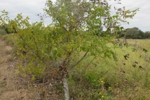 Southern-Prickly-Ash-tree