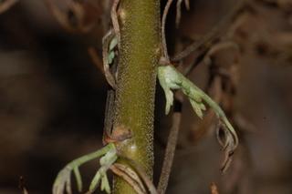 Stem-of-Southernwood-plant