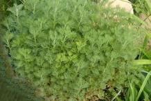 Southernwood-plant