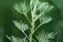 Closer-look-of-Southernwood-plant