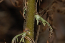 Stem-of-Southernwood-plant