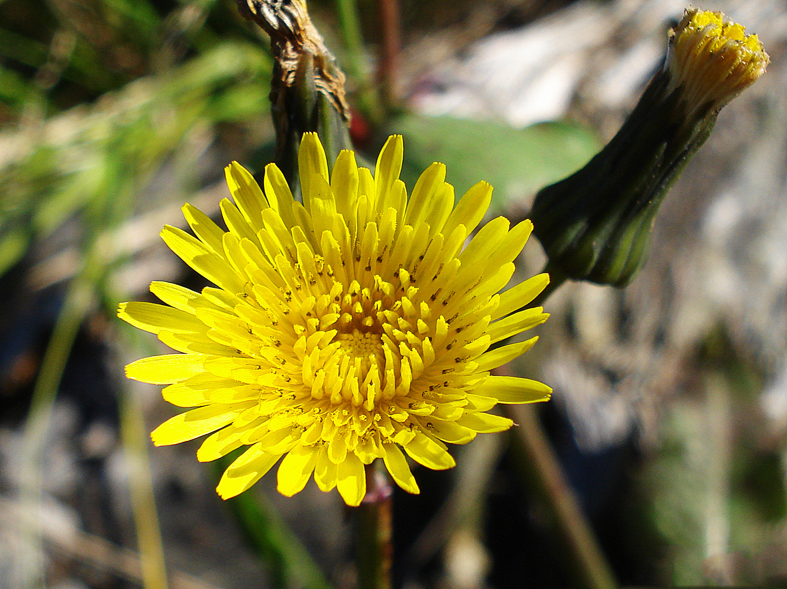 Flower-of-Sow-thistle