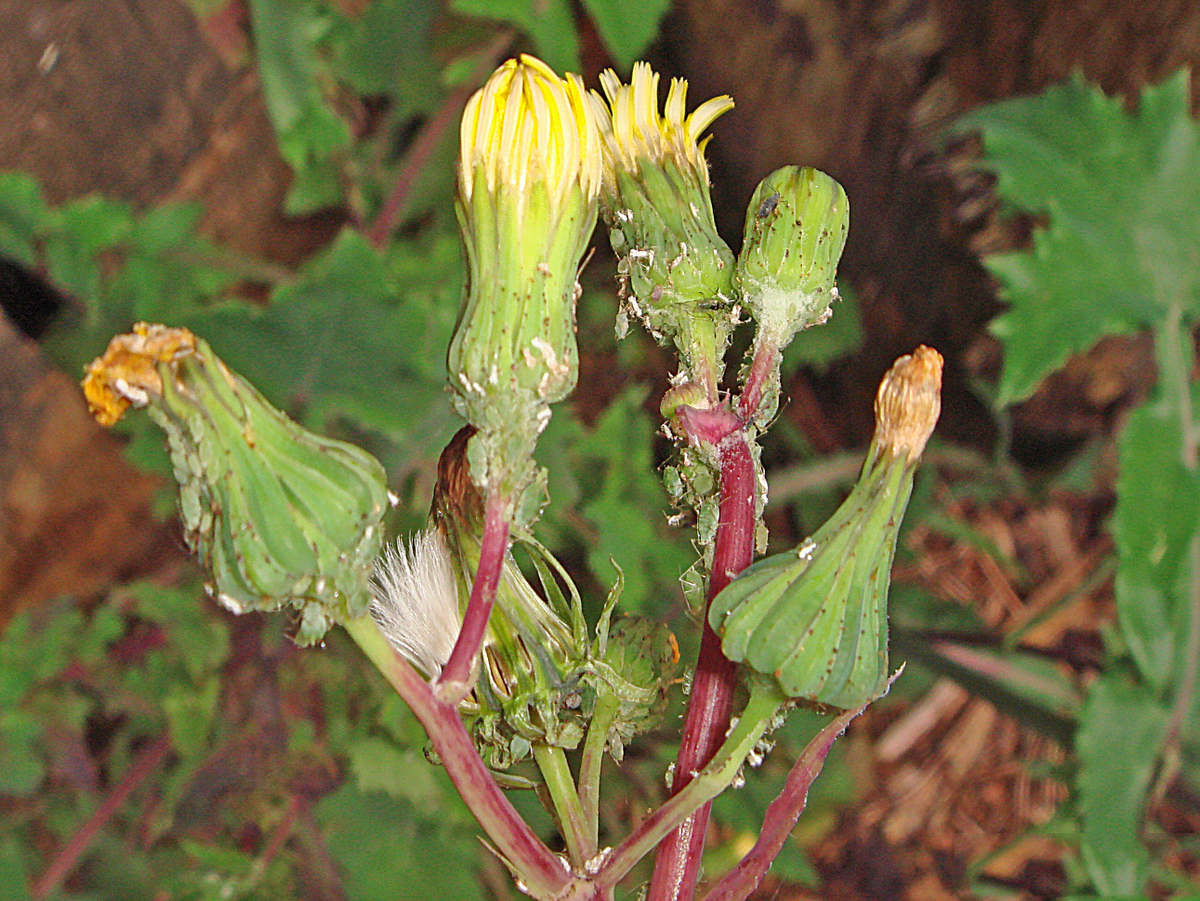 Sow-thistle-Flower-bud-infested-with-aphids