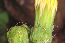 Closer-view-of-Flowering-buds-of-Sow-thistle