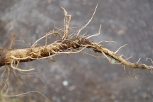Fibrous-taproot-of-Sow-thistle