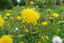 Sow-Thistle-plant-growing-wild