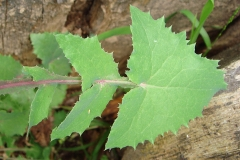 Leaves-of-Sow-thistle