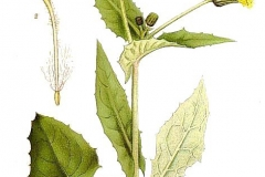 Plant-Illustration-of-Sow-Thistle