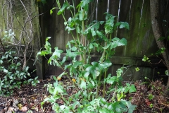 Sow-thistle-Plant