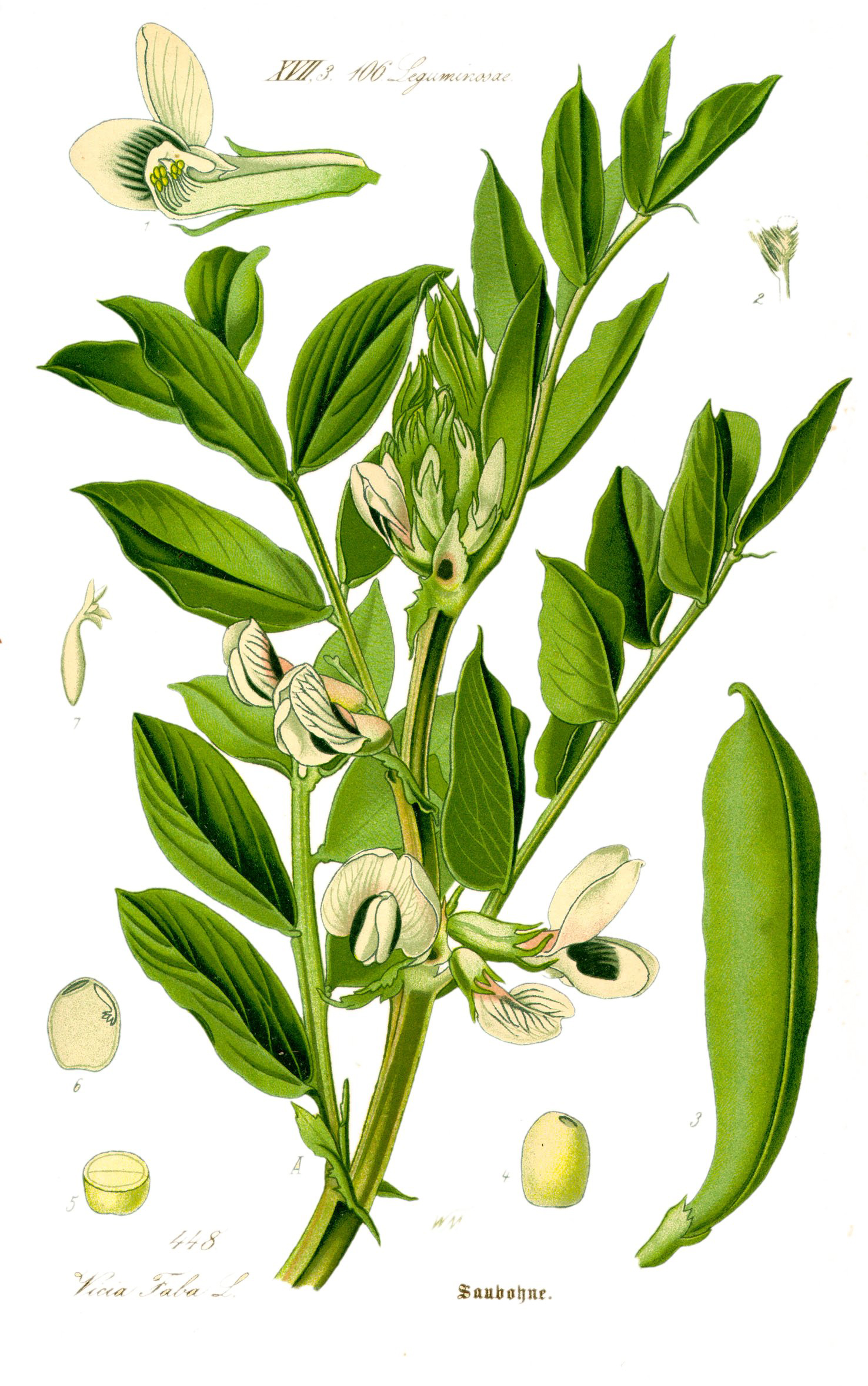 Plant-illustration-of-Soybean