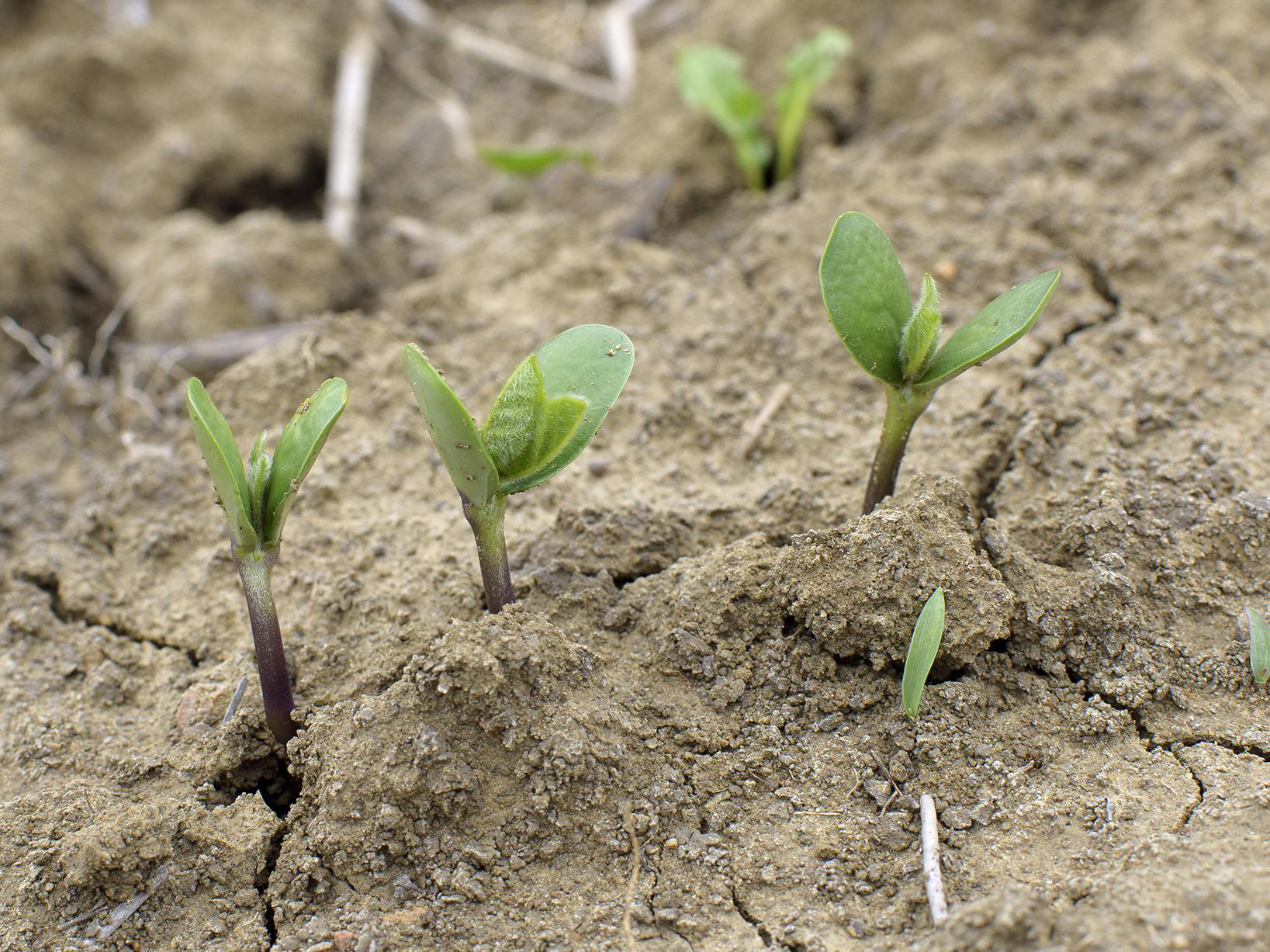 Sprouts-of-Soybean