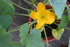 Male-Spaghetti-Squash-flower