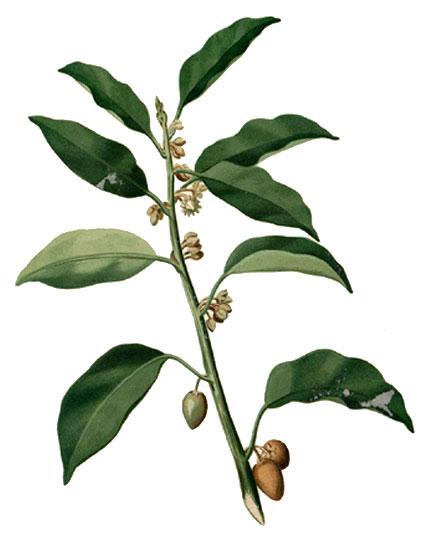 Plant-Illustration-of-Spanish-Cherry