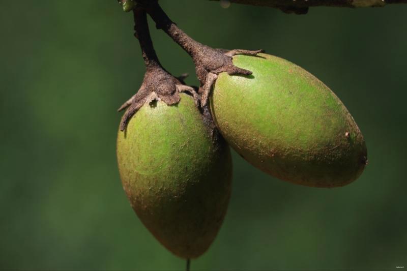 Unripe-fruit-of-Spanish-Cherry