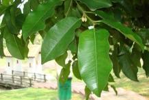 Leaves-of-Spanish-Cherry