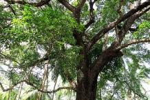 Spanish_cherry-tree