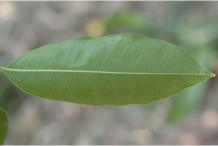 Ventral-view-of-Leaf-of-Spanish-Cherry