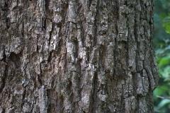 Bark-of-Spanish-Cherry