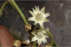 Flower-of-Spanish-Cherry
