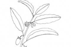 Sketch-of-Spanish-Cherry