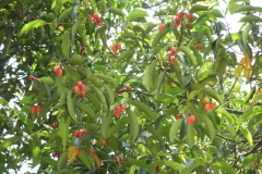 Tree-with-ripe-Spanish-Cherry-fruit
