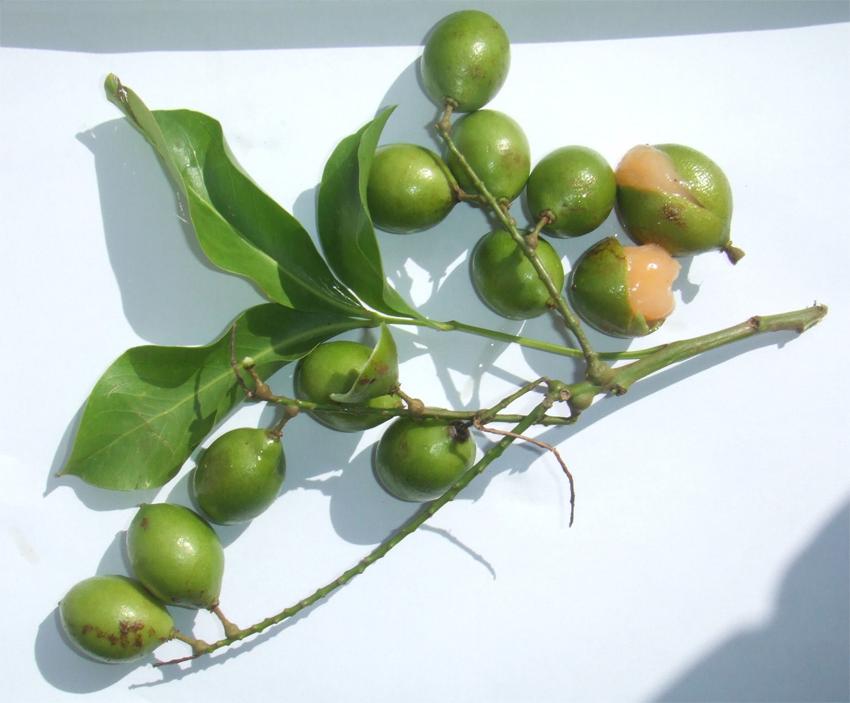Ripe-Spanish-lime