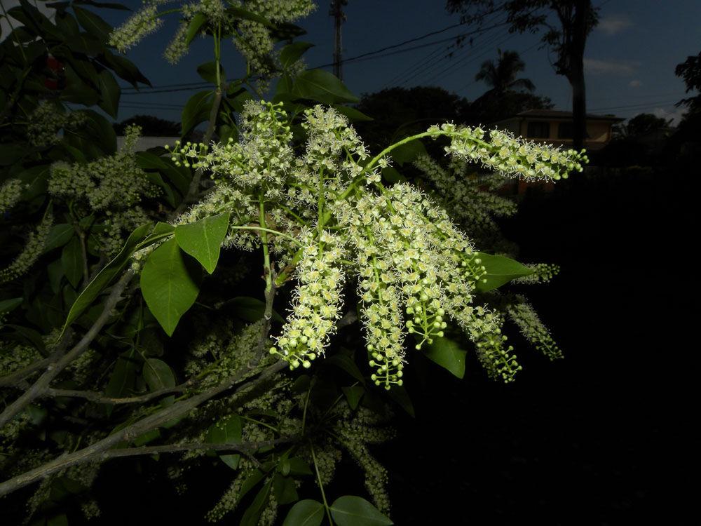 Spanish-Lime-Flower