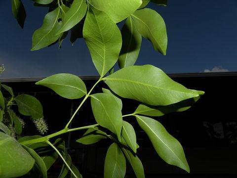 Spanish-Lime-Leaf