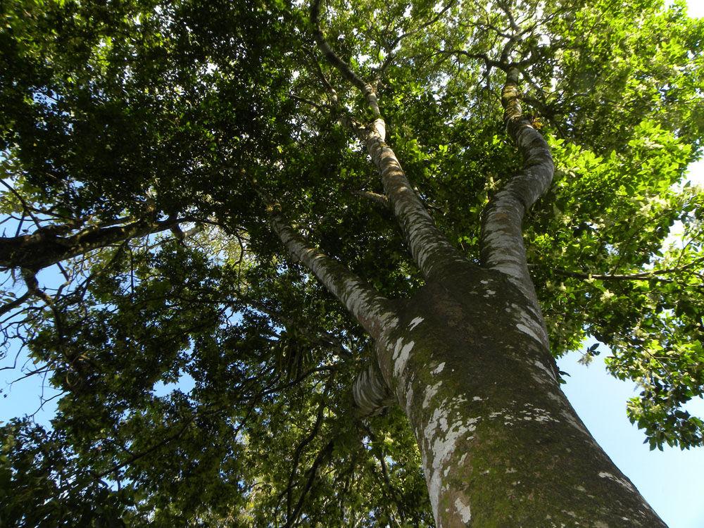 Spanish-Lime-Tree