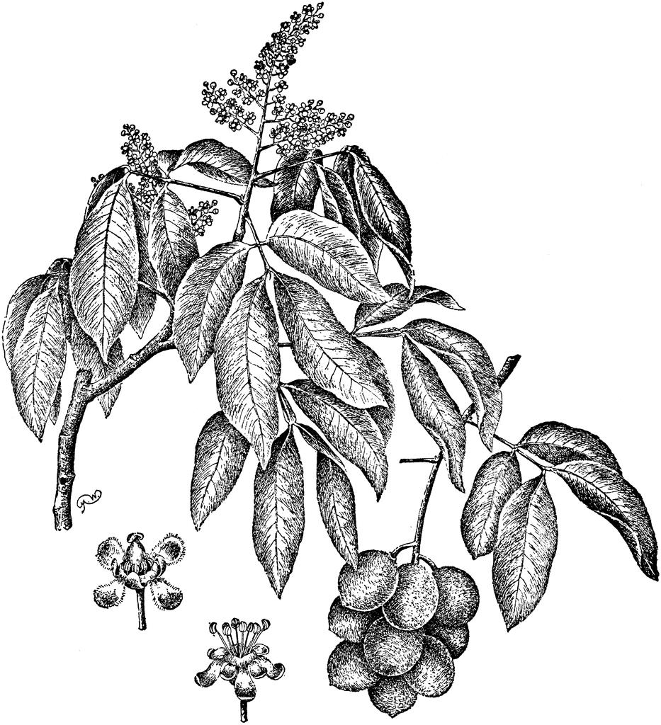 Spanish-Lime-plant-Illustration