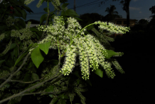 Spanish-Lime-Flower