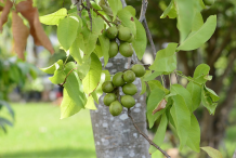 Spanish-Lime-on-the-tree