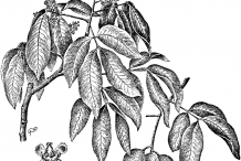 Spanish-Lime-plant-Illustration