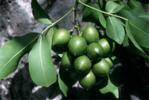Unripe-Spanish-Lime